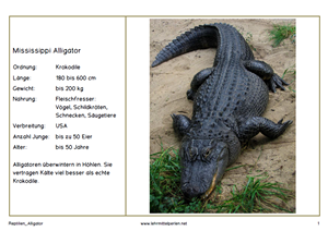 Reptilien Alligator 1