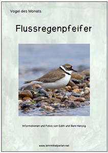 Flussregenpfeifer T